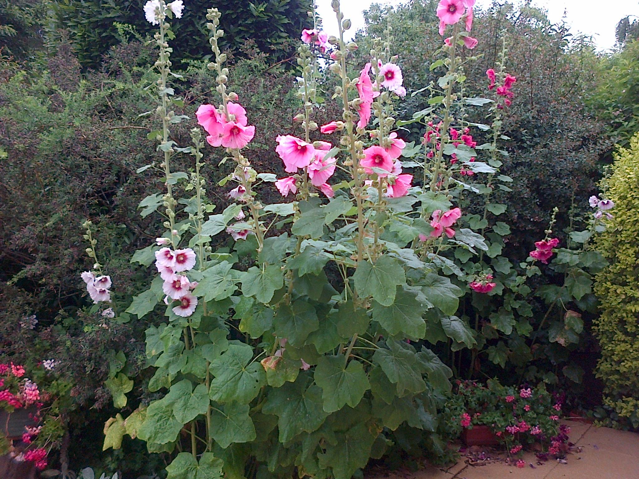 Fleurs au jardin en bretagne for Fleurs au jardin